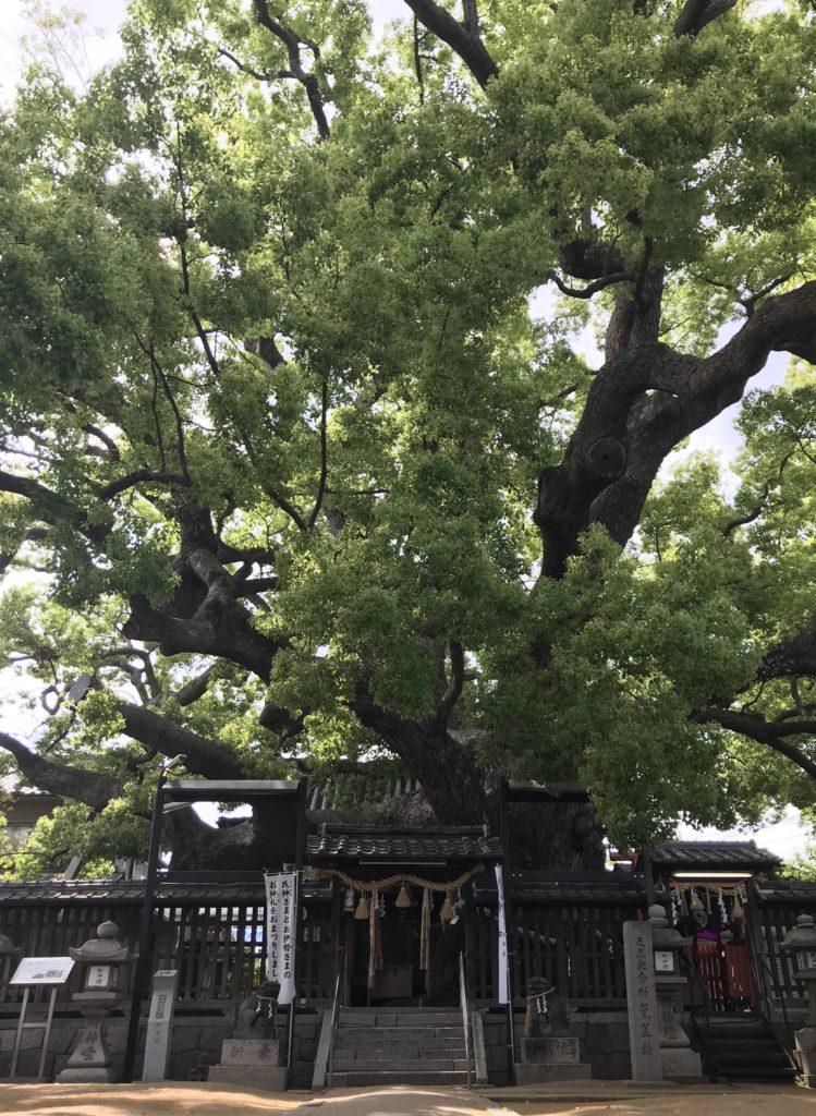 三島神社の薫蓋樟の全景(正面から臨む)