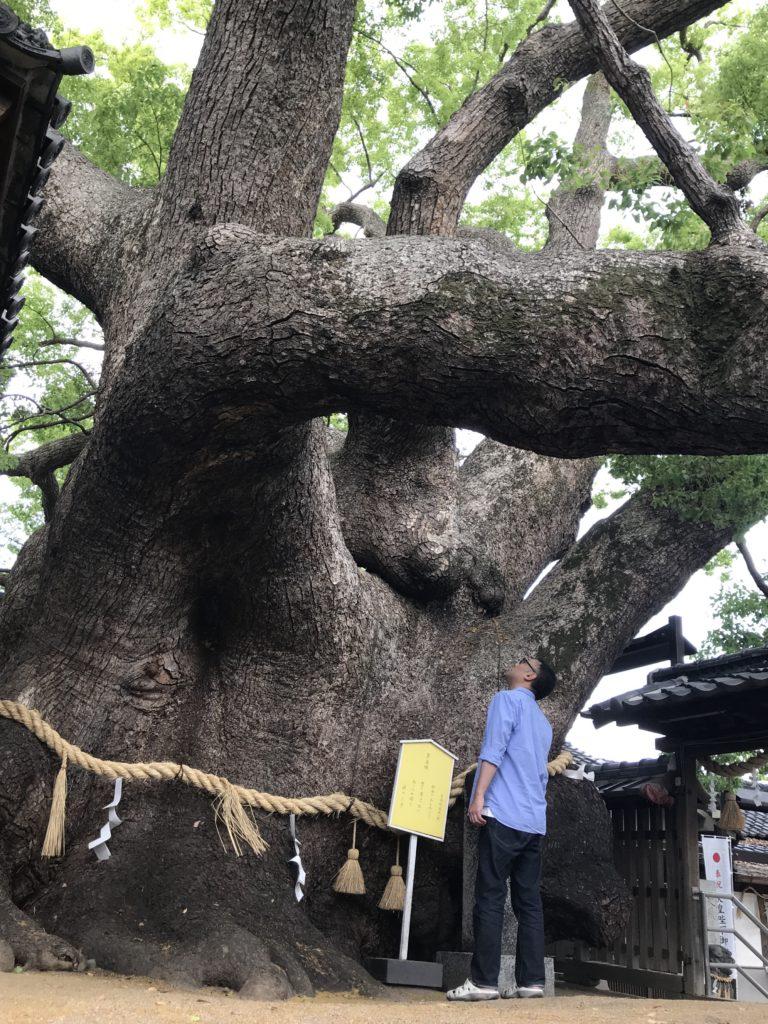 三島神社の薫蓋樟の全景(下から臨む)